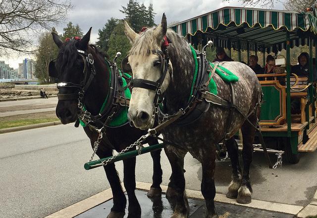 stanley park, horse drawn tours, percheron horses, vancouver, british columbia, canada, horses