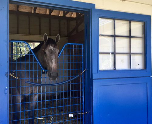 thoroughbred race horse, blue barn, custom care equine, camden, south carolina, camden training center